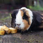 Buy Healthy Guinea Pigs for Sale in Patna at Affordable Price