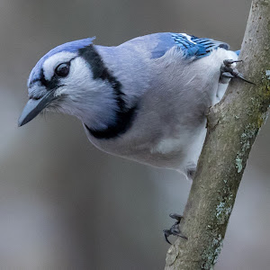 Blue Jay 4663.jpg