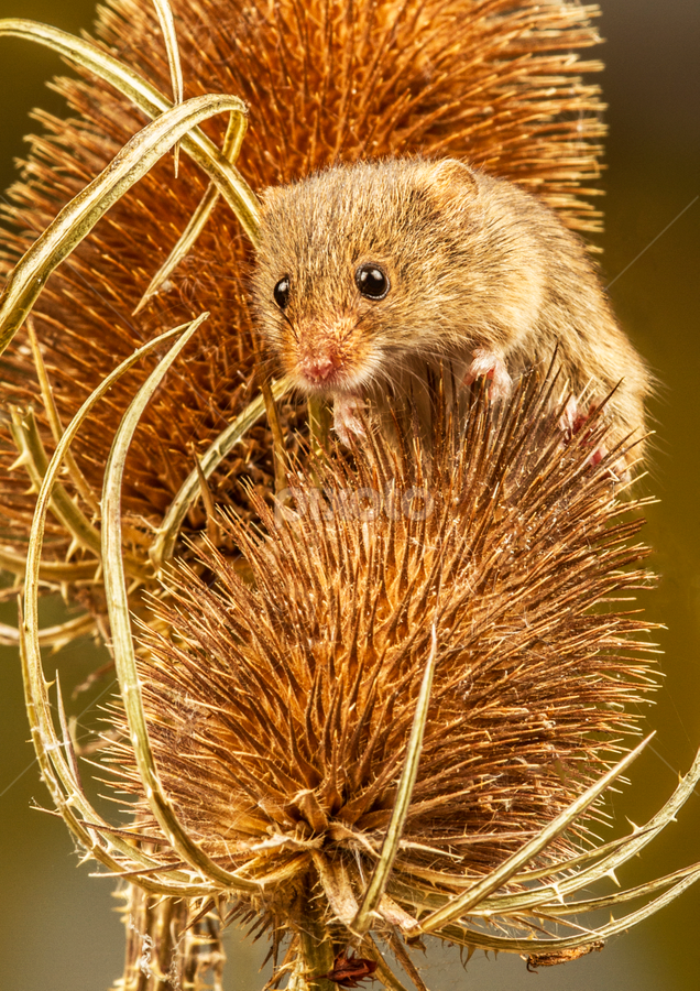 Harvest Mouse by Sandra Cockayne - Animals Other Mammals ( mouse, critter, harvest mouse, sandi cockayne, teasel, mammal, eyes, mice, sandra cockayne, whiskers, dried flowers, flowers, dry flowers, animal,  )