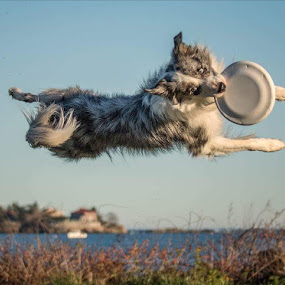 Flying dog by Kathy Val - Animals - Dogs Playing ( animals, australian shepherd dog, dogs playing,  )