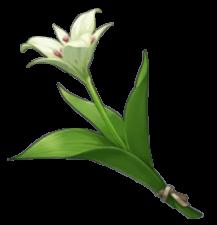 Hoa Cecilia