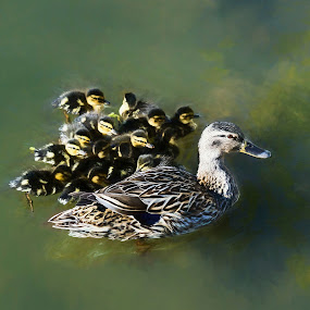 Mother and babies, ducks by Sharon Leckbee - Animals Birds ( animals, nature, ducks )