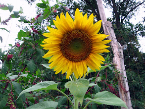 Photo: best sunflower pic
