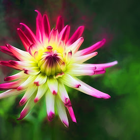 Dahlia by CLINT HUDSON - Flowers Single Flower ( red, green, dahlia, flower )