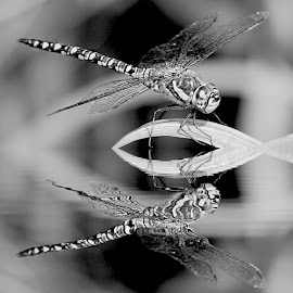Imperator reflection by Gérard CHATENET - Black & White Animals (  )