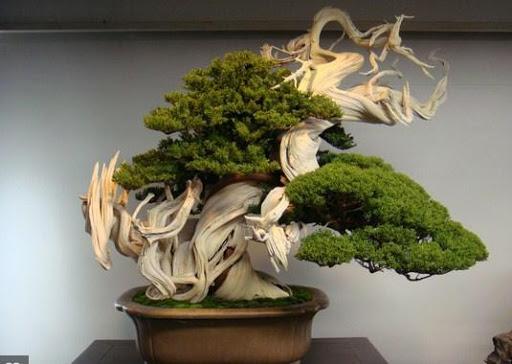 最好的盆景植物