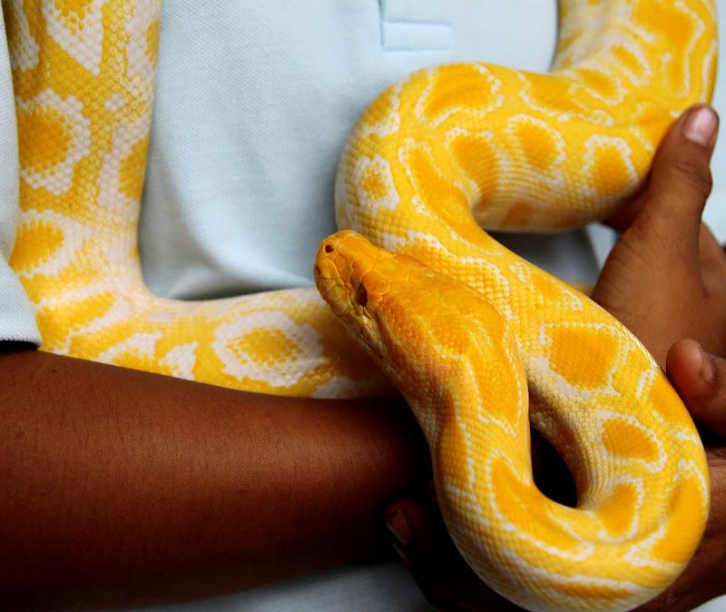 golden snake di gds75photo