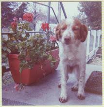 """Photo: 1976 j'arrive dans ma nouvelle maison mon nom est Maya je suis une """"Epagneul Breton"""""""