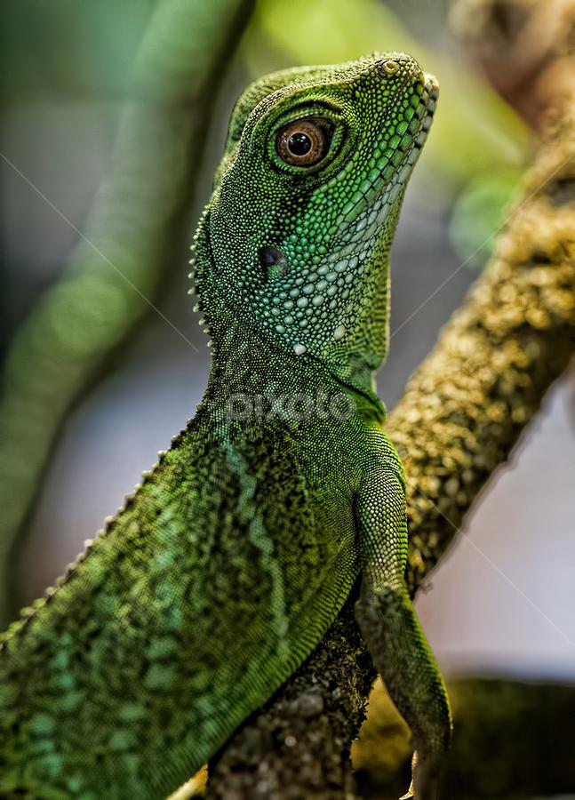 Lizard by Steve BB - Animals Reptiles ( lizard, macro, scales, green, dragon, closeup, eyes )