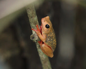 Photo: Hyperolius viridiflavus - Common Reed Frog