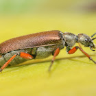 Bronze Blister Beetle