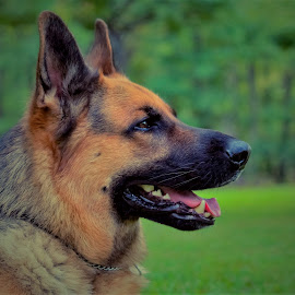 A close watch by Sue Delia - Animals - Dogs Portraits ( eye, german shepherd, watch, dog, pet,  )