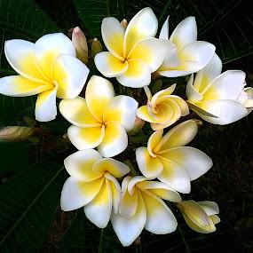 kemboja by Hatdy Tridjaja - Flowers Flowers in the Wild