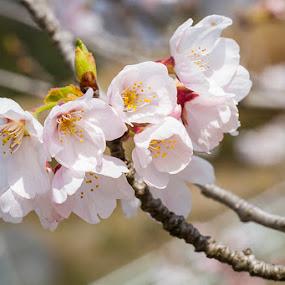 Sakura in Japan by Irfan Maulana - Nature Up Close Flowers - 2011-2013