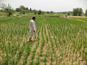 Photo: SRI plot at Pul-e-Khishti,Ali Abad, Afghanistan. [Photo Courtesy of Ali Muhammad Ramzi, 2013]