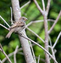 Photo: House Sparrow, backyard feeder St John's