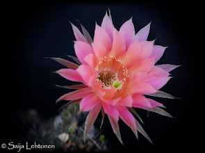 Photo: Another beautiful night blooming cactus flower..... I'm addicted to photographing them ;)  Saija Lehtonen Photography  #Floral #FloralFriday #Flower #Nature #Photography #FineArt #Pink #Southwest