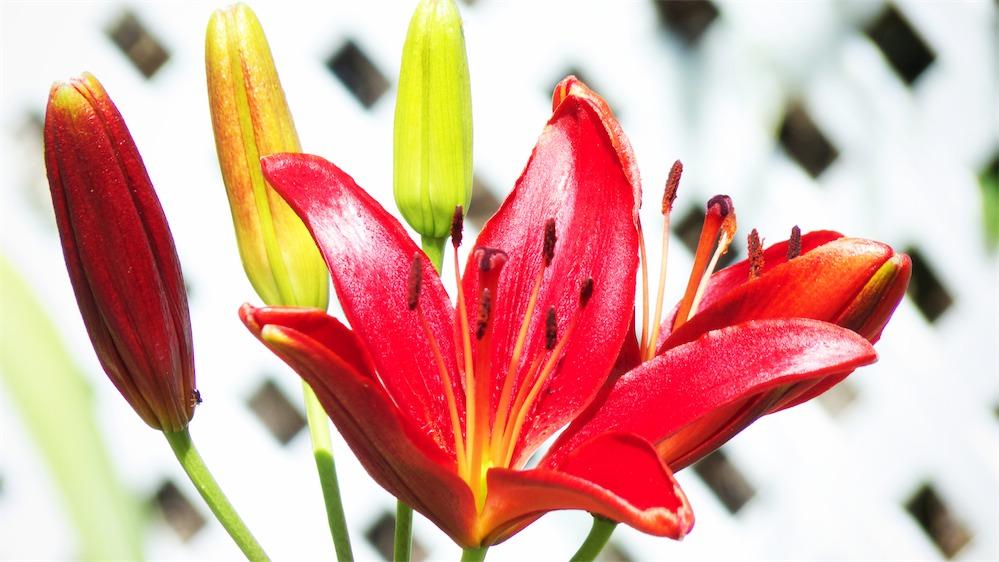 Lilliesapoppin.jpg