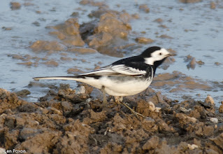 Photo: Pied Wagtail