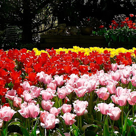 Multi colored tulips. by Peter DiMarco - Flowers Flower Gardens ( tulip, tulips, flowers, garden, flower )