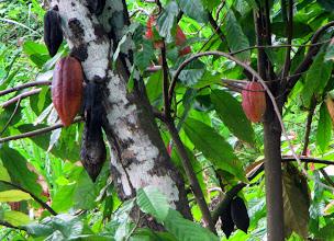 Photo: Cocoa pods