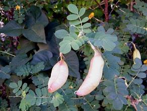 Photo: gousses du baguenaudier