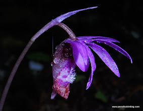 Photo: The stunning and very sexy Calypso Orchid