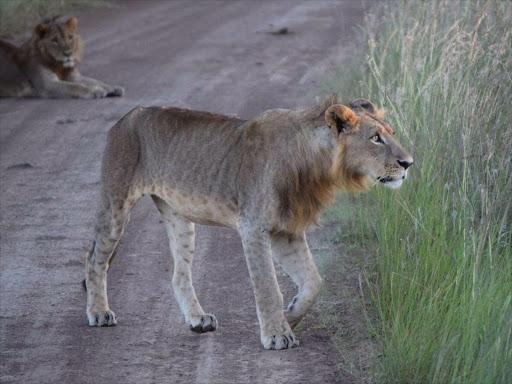 Another Lion, Lemek, found killed in Kitengela