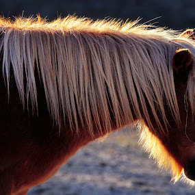 by Nils Sjöström - Animals Horses (  )