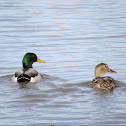 Mallard duck (with canada goose)