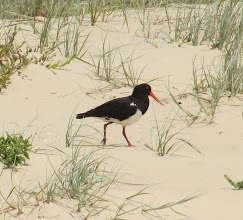 Photo: Year 2 Day 169 -  Oyster Catcher