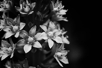 Photo: Have a good evening all  #bwphotography  #monochrome  #flowerphotography  #floralfriday