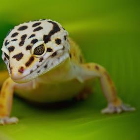 by Muhamad Firman - Animals Reptiles ( #GARYFONGPETS, #SHOWUSYOURPETS )