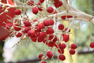 Photo: Year 2 Day 29 - Berries on a Palm Tree #2