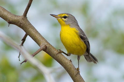 In the face of elite tourism projects, the Barbuda Warbler isn't the only one that might lose its home