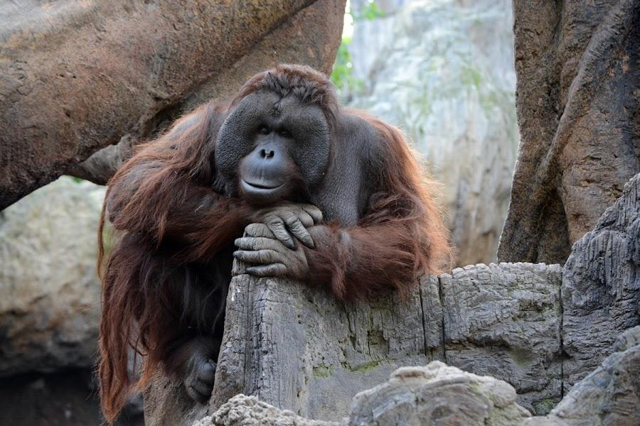 Orangutan by John More - Animals Other Mammals ( looking, thinking, ape, orangutan, relaxing )