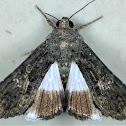 The Sorcerer Moth