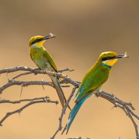 Fork Tailed Bee eaters by Arend Van der Walt - Animals Birds