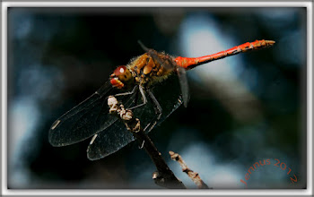 Photo: rote Libelle