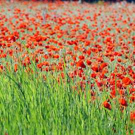 by Elena Lashneva - Flowers Flower Gardens ( poppies )