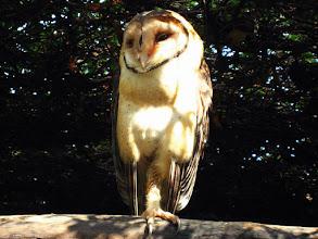 """Photo: 022-Effraie des clochers au """"Featherdale Wildlife Park"""""""