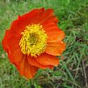 Siberian poppy