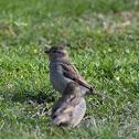 Passerine Bird