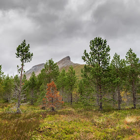 Autumn in northern norway by Benny Høynes - Landscapes Forests ( landscape photography, forest, sony alpha, norway, autumn, colorful )