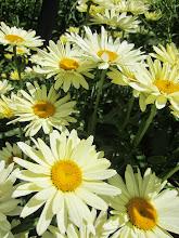 Photo: Yellow and cream daisies at Wegerzyn Gardens in Dayton, Ohio.