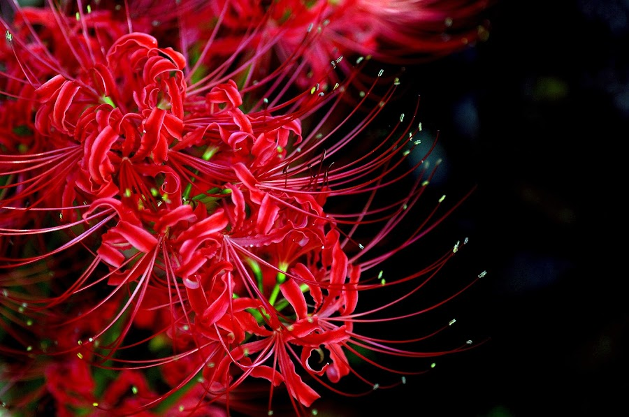 Red spider lily by Motony Anitha - Nature Up Close Flowers - 2011-2013 ( macro, flower )