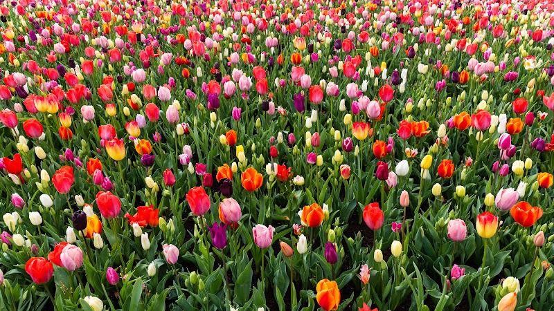 Tulipani di Gigga