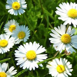 The daisy flowers by Svetlana Saenkova - Flowers Flowers in the Wild ( springtime, white and yellow )