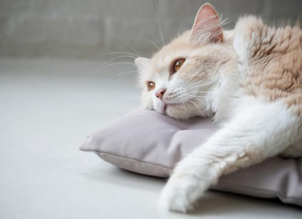 Anemia in cats is not as simple as you think