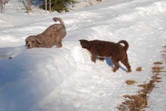 Photo: Viva luulee löytävänsä lumen seasta jotain, joten on parasta työntää pää lumeen
